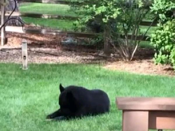 Bear enters Colorado home through open window, eats cat food