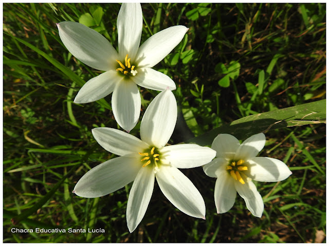 Flores - Chacra Educativa Santa Lucía