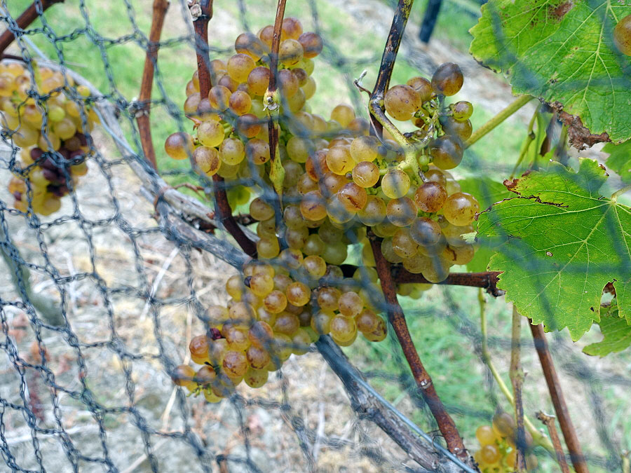 Tantalus Estate Pinot Gris grapes