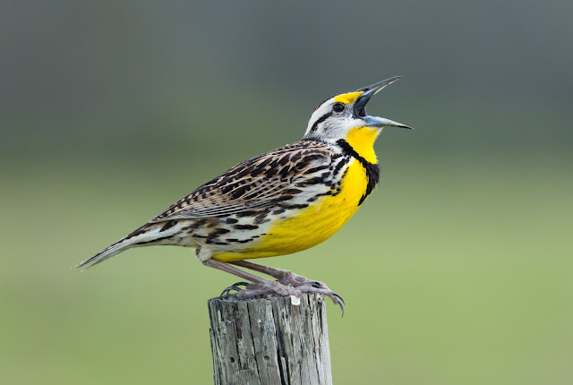 Eastern Meadowlark - Joe Overstreet Road, Florida