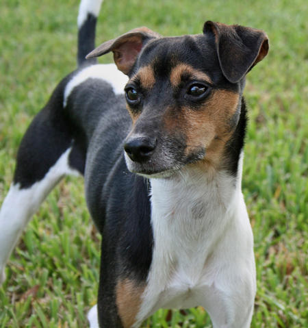 animals world pictures of animal brazilian terrier