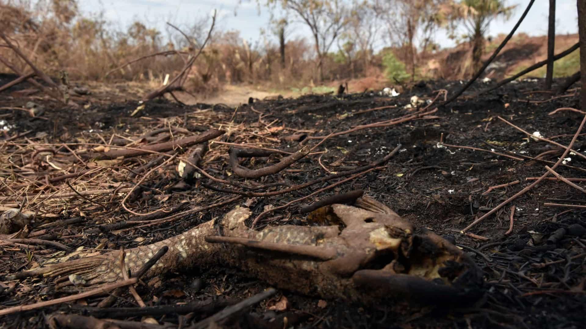 Fogo matou 17 milhões de animais no Pantanal em 2020, indica estudo