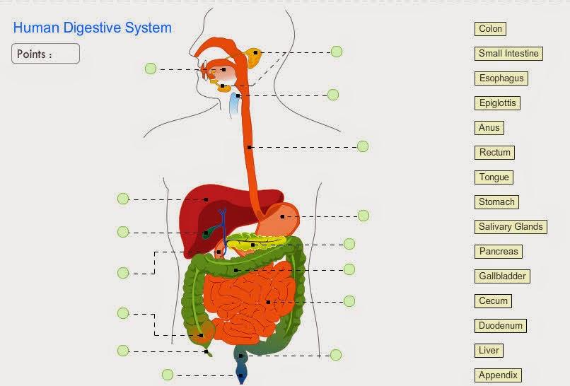 http://www.neok12.com/diagram/Digestive-System-01.htm