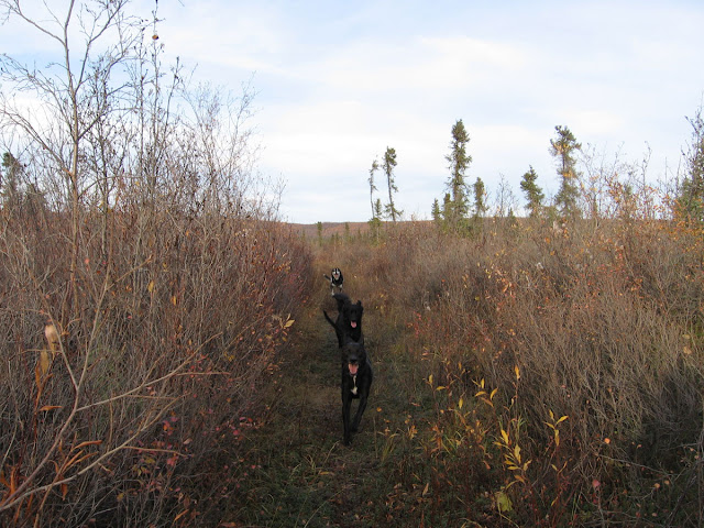 3 dogs run towards the camera. Article on Indigenous Knowledge and lessons for dog trainers