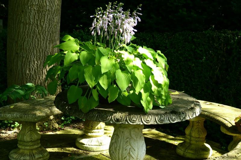 Hosta, flores en un jardín sombrío