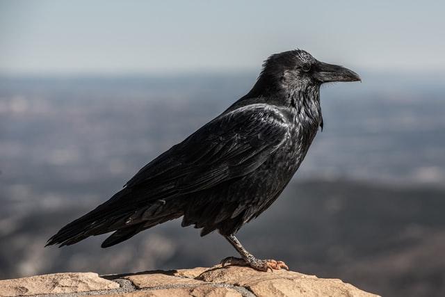 aprende ingles animal cuervo crow pajaro negro