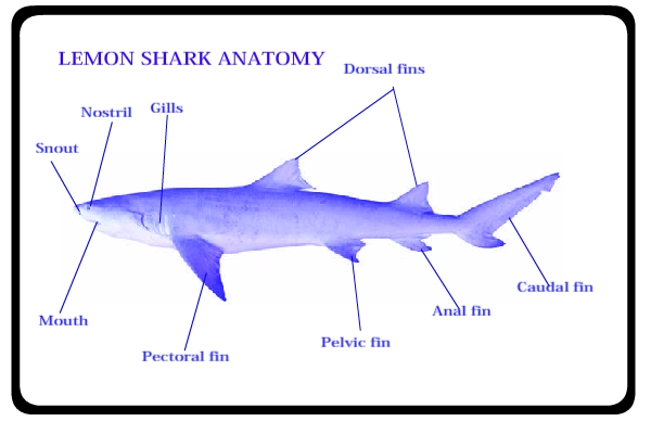 Lemon Shark Facts That You Should Know All Five Oceans