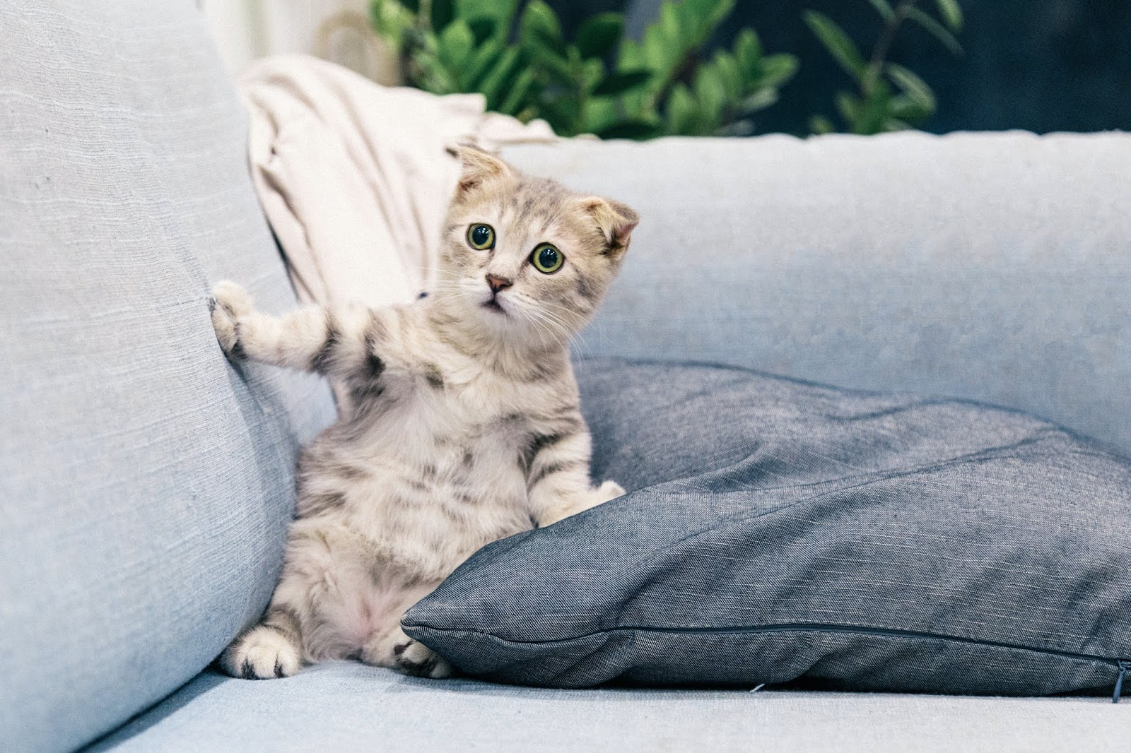 photo-of-gray-and-white-tabby-kitten-sitting-on-sofa,cat images