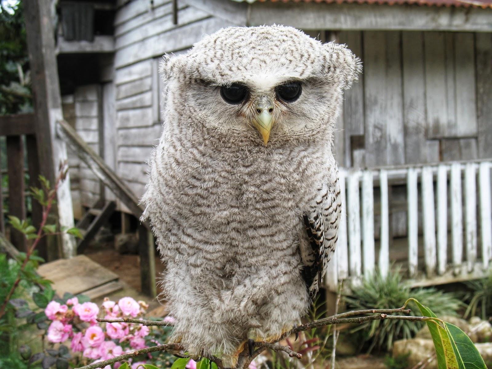 The barred eagle owl (Bubo sumatranus) Alias Burung Hantu - PLANTER AND  FORESTER