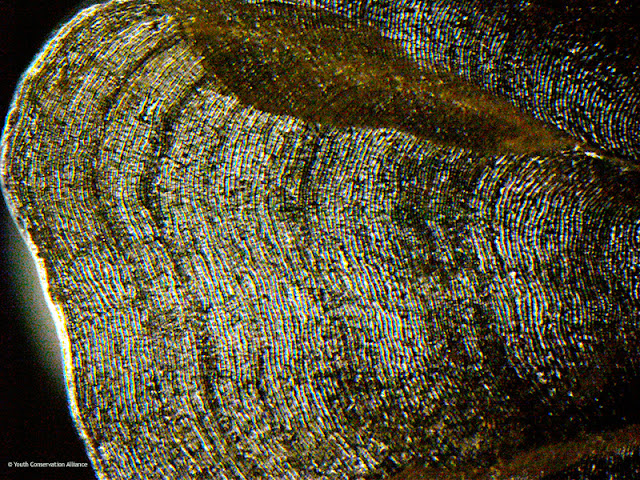Muski fish scale captured under a biological microscope at 600x magnification.