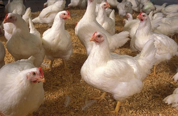 Ayam Broiler adalah jenis ayam yang memiliki daya produktivitas tinggi