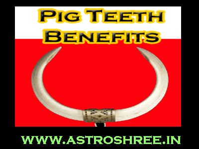 pig teeth benefits and suar ke dant ke totke by astrologer