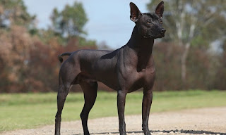 Tüysüz Meksika Köpeği