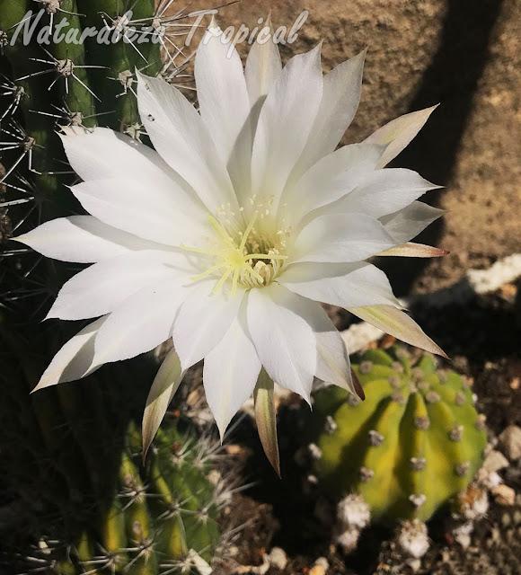 Flor típica del hermoso cactus ornamental Echinopsis subdenudata