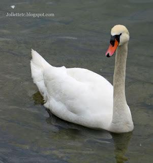 Swan on Lake Lucerne 2019 https://jollettetc.blogspot.com