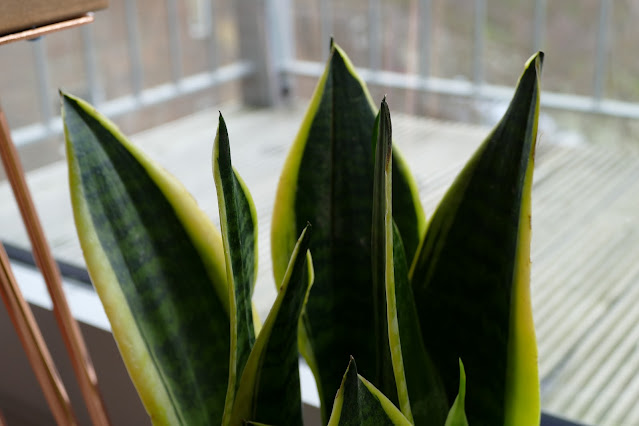 Plants by Post Review , Plants by Post etsy, Best Plant For Studio Homes, best plants for apartments, best plants for home, snake plant uk review