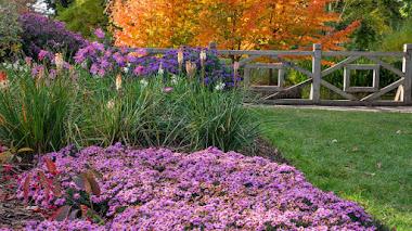 Aster (Symphyotrichum) Coloridas estrellas en el jardín de otoño