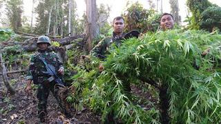TNI Kembali Temukan Ladang Ganja di Perbatasan RI-PNG