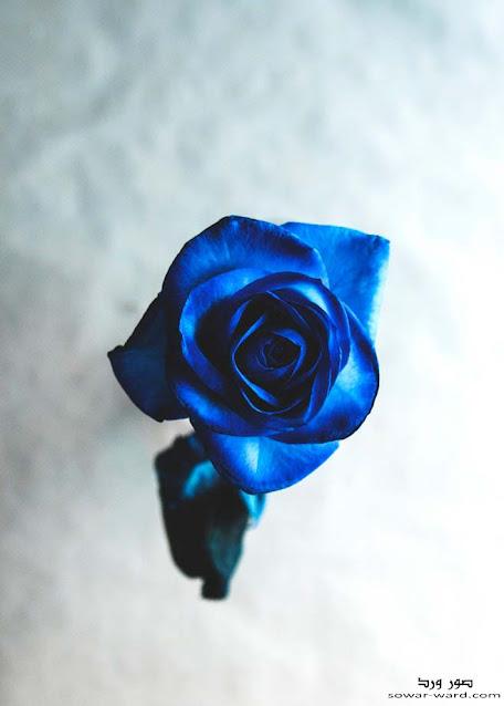 خلفيات ورود زرقاء و خلفيات ورد جميل