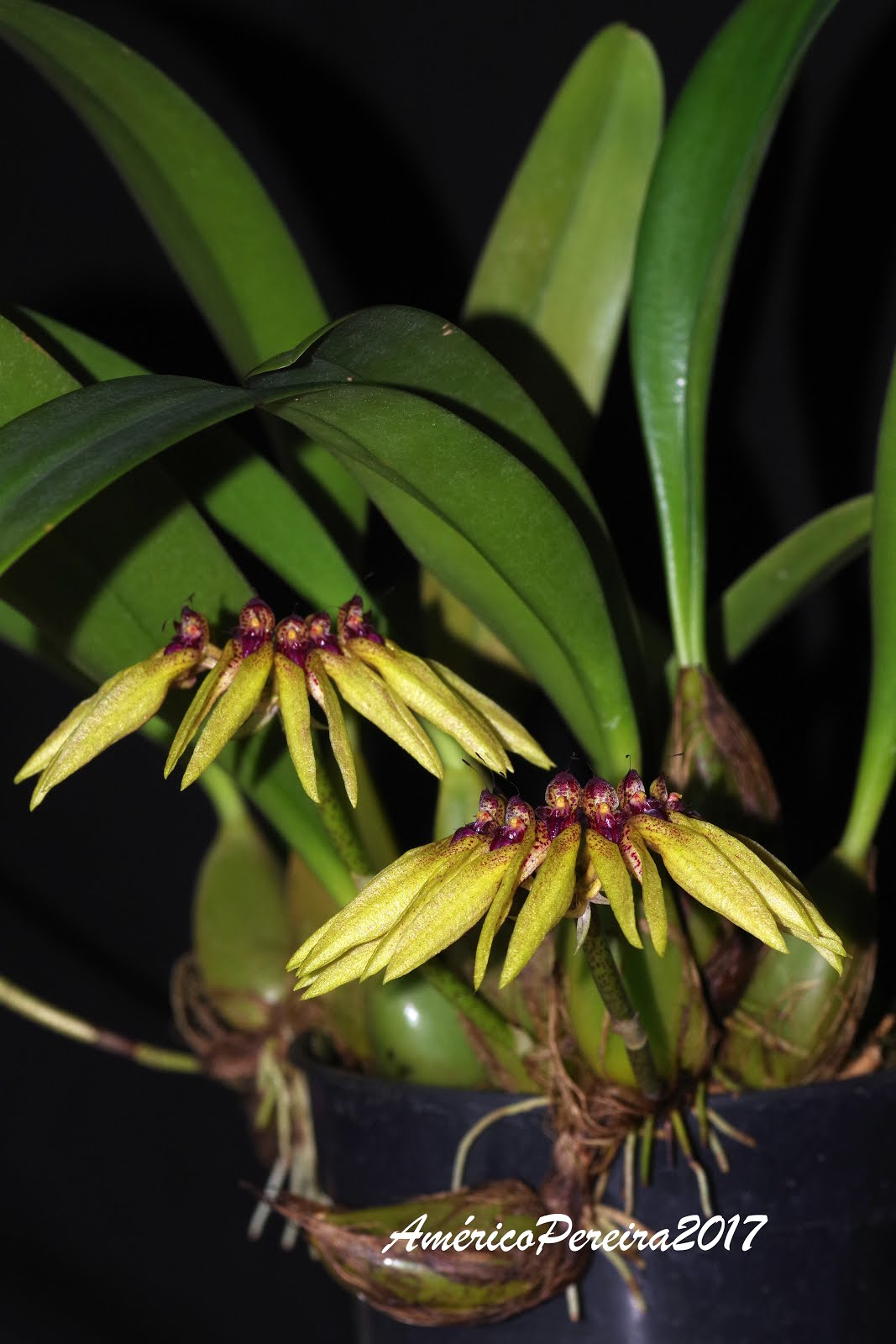 Bulbophyllum picturatum