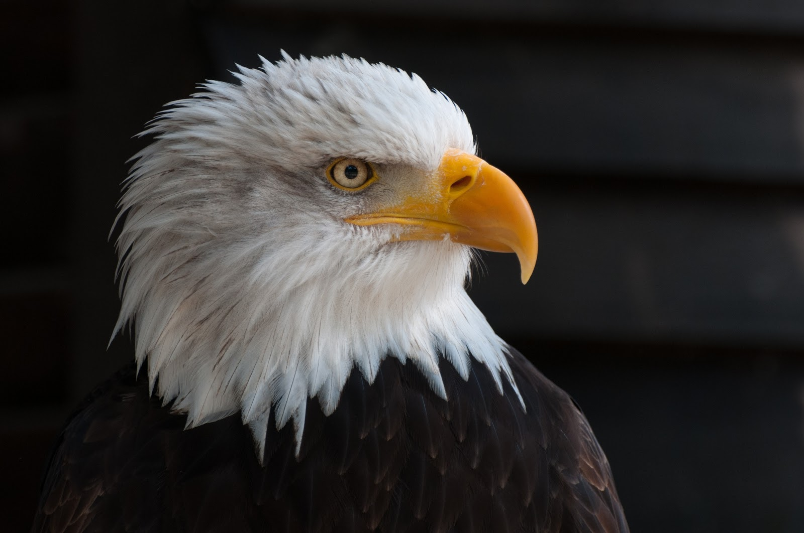 usa-bald-eagle-portrait-close-birds-pictures