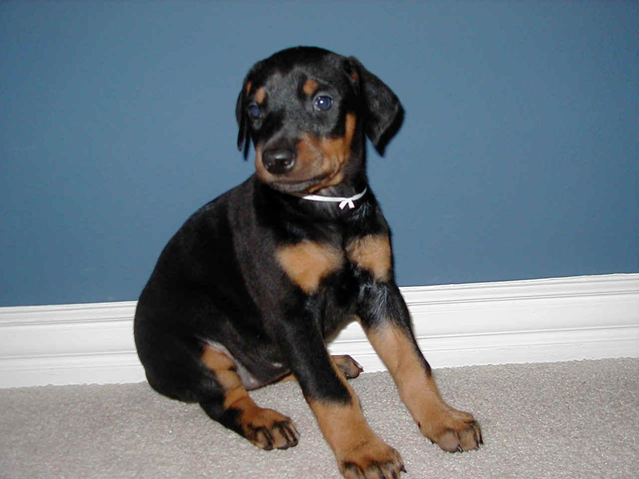 pin miniature pinscher pup - photo #32