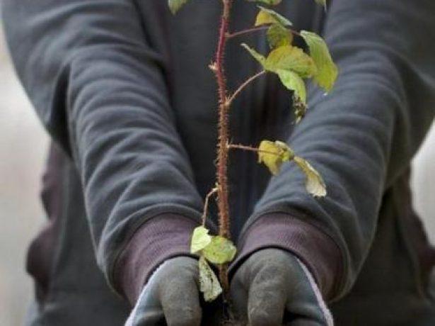 Осенние работы в саду: Пересадка малины на новое место