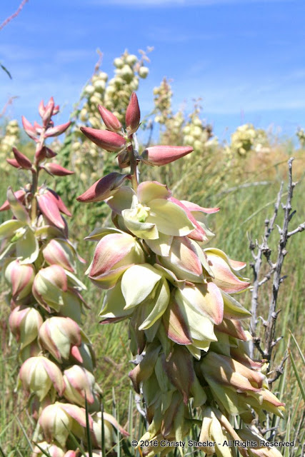 Clusters of yucca blossoms on two stalks, pale yellow with touches of deep rose pink on the outer petals.