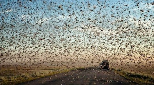 Advierten que la 'plaga bíblica' que devora cultivos y se hará más destructiva.