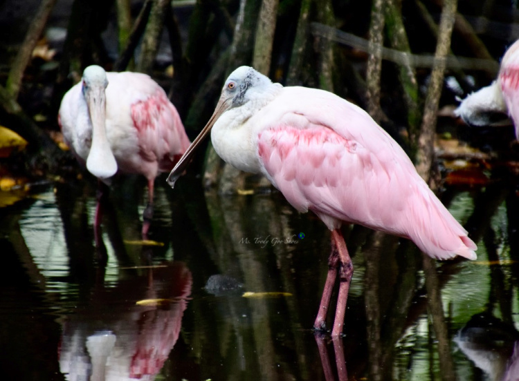 Flamingo Gardens in Florida has a lot more than just flamingos! | Ms. Toody Goo Shoes #flamingos #spoonbill