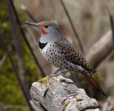Photo of Northern Flicker on stump