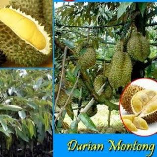 bibit-durian-montong-murah.jpg