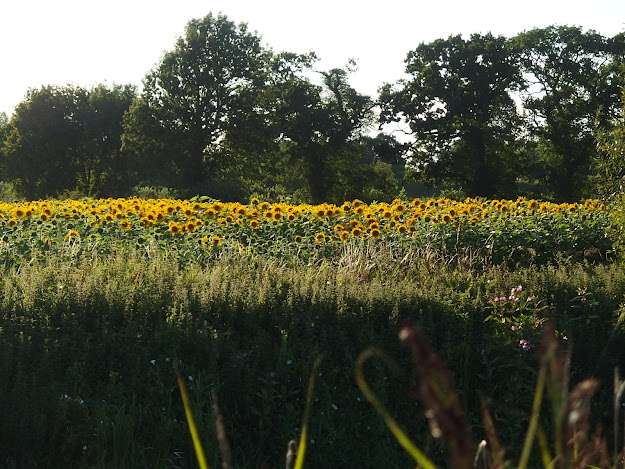 View across the River Avon to the sunflower field
