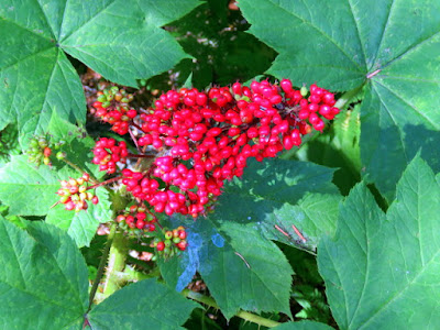 Devil's Club with its red berries.