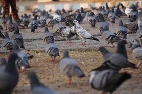Penyakit pada Burung Merpati