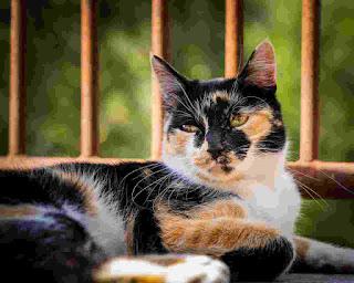 kucing belang 3 warna