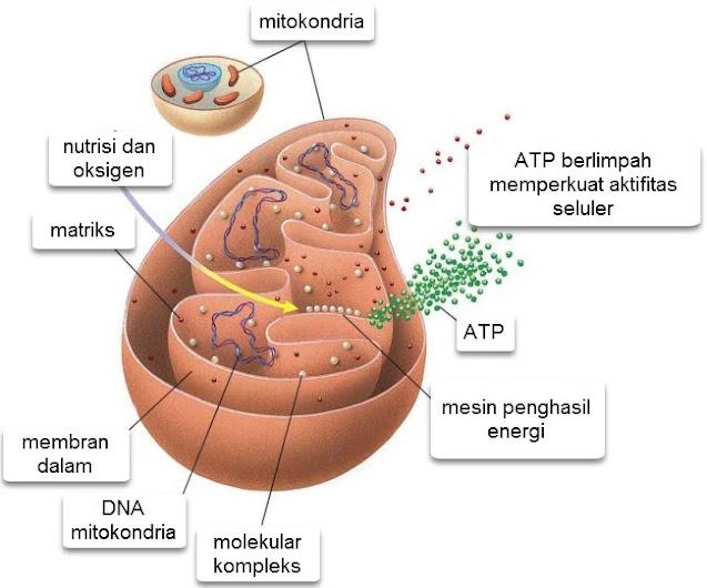 Gambar 2. Struktur Mitokondria