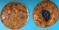 Crème de noisettes dans moule demi-sphères, feve