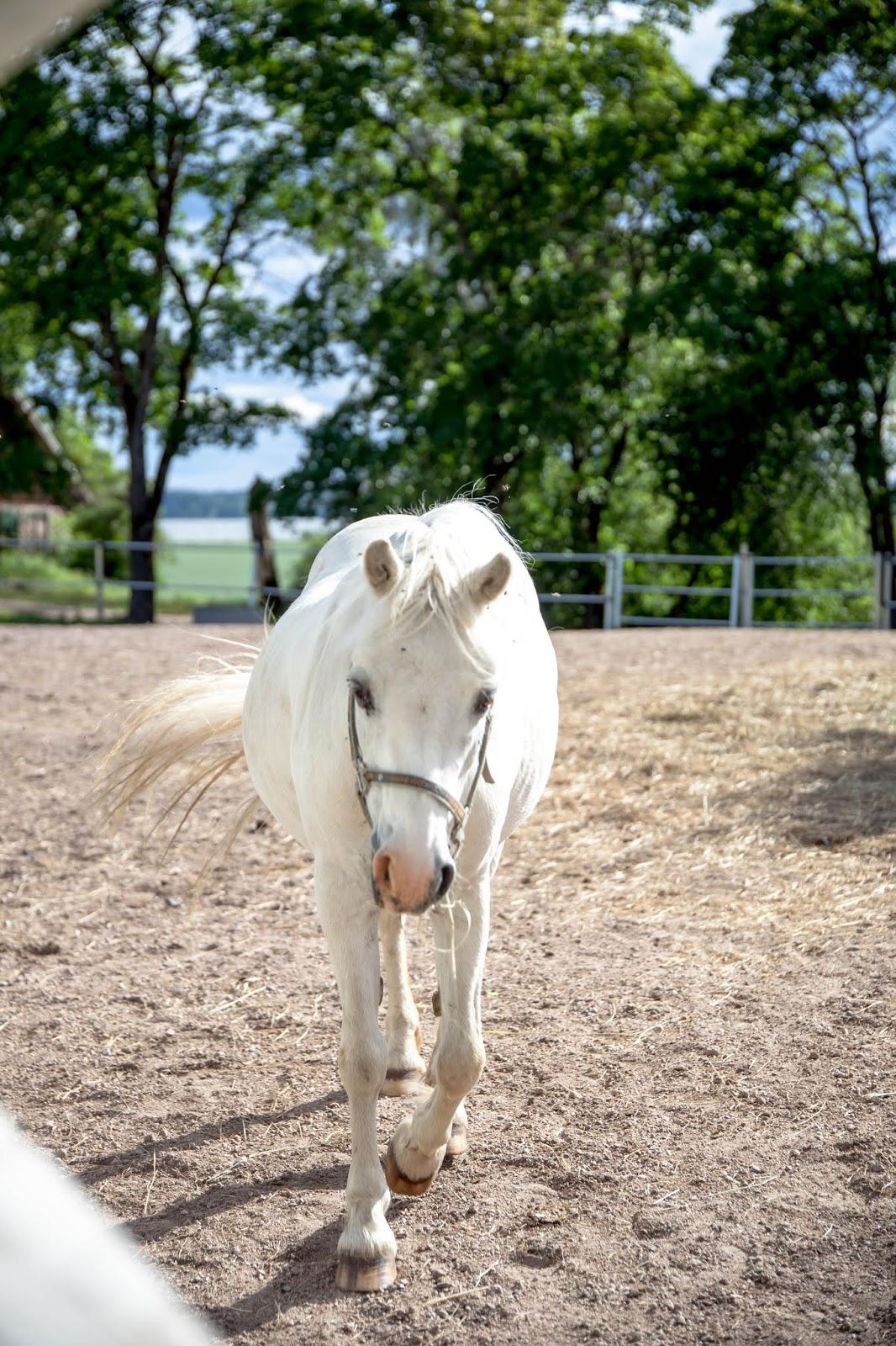 valkoinen welsh poni