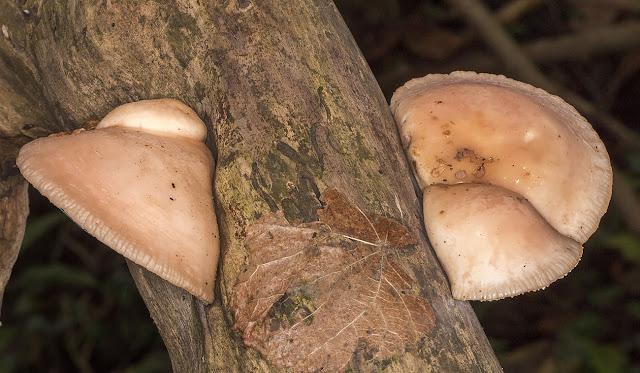Rhodotus palmatus, Wrinkled Peach.  High Elms Country Park, 11 November 2014.