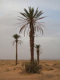 pohon kurma Phoenix dactylifera