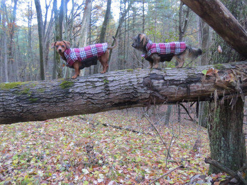two little dogs on a log
