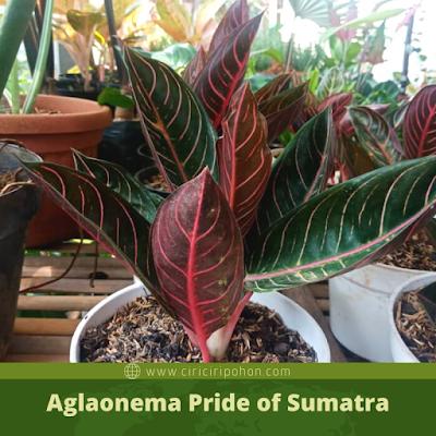 Ciri Ciri Pohon Aglaonema Pride of Sumatra