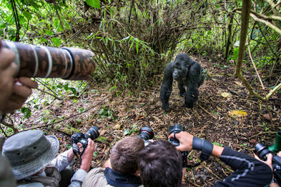 Christophe and her team were capturing photos of endangered  mountain gorilla on Rwanda's Volcanoes National Park forest.