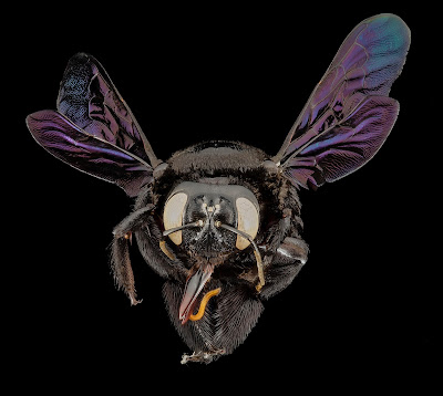 Widok na pszczołę zapylającą
