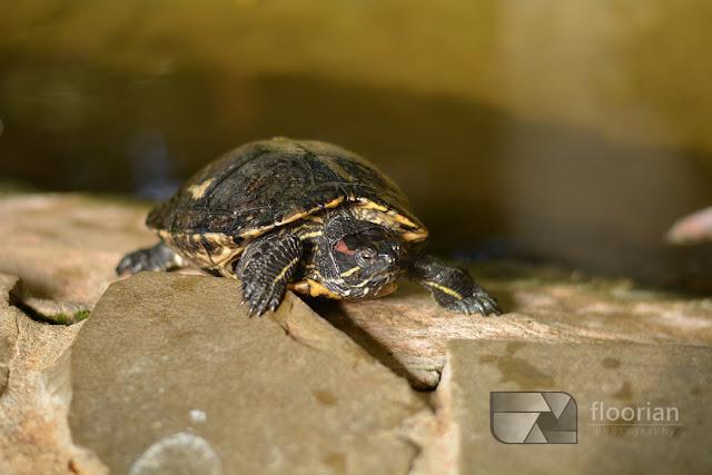 Żółwie w Market Dome w Center Parcs Bispinger Heide.