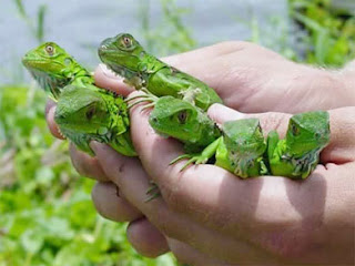 Iguanas - Pets Cute and Docile