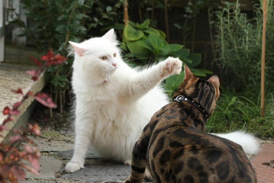 kocia agresja, kot agresywny, kot rzuca się, koty się biją, koty agresywne, jak rozpoznać kocią agresję, kocie bójki, kot warszawski, koci behawiorysta, behawiorysta warszawa