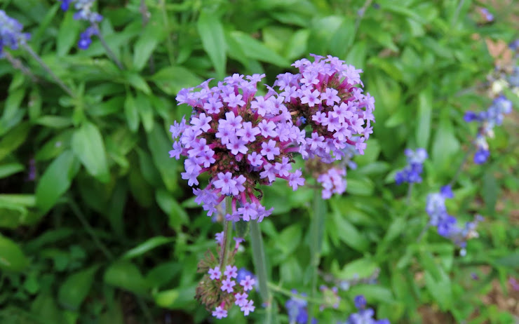 南米原産のヤナギハナガサ…紫色の小さな花の集合体