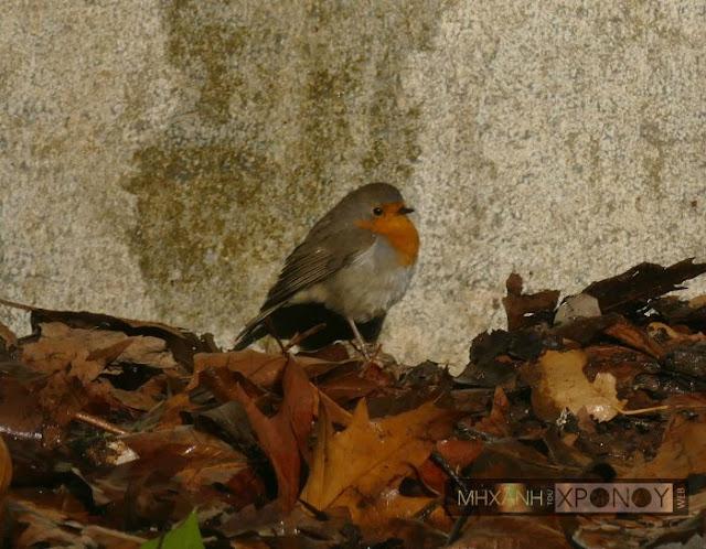 Ποιο είναι το μικροσκοπικό πουλί που κατάφερε να ξεπεράσει τον αετό και να γίνει ο βασιλιάς των πουλιών. Γιατί το αποκαλούν αηδόνι του χειμώνα...